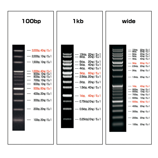 DNA分子大小梯度标记条
